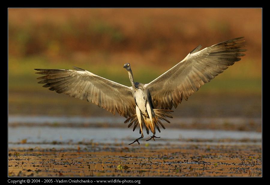 Сommon heron