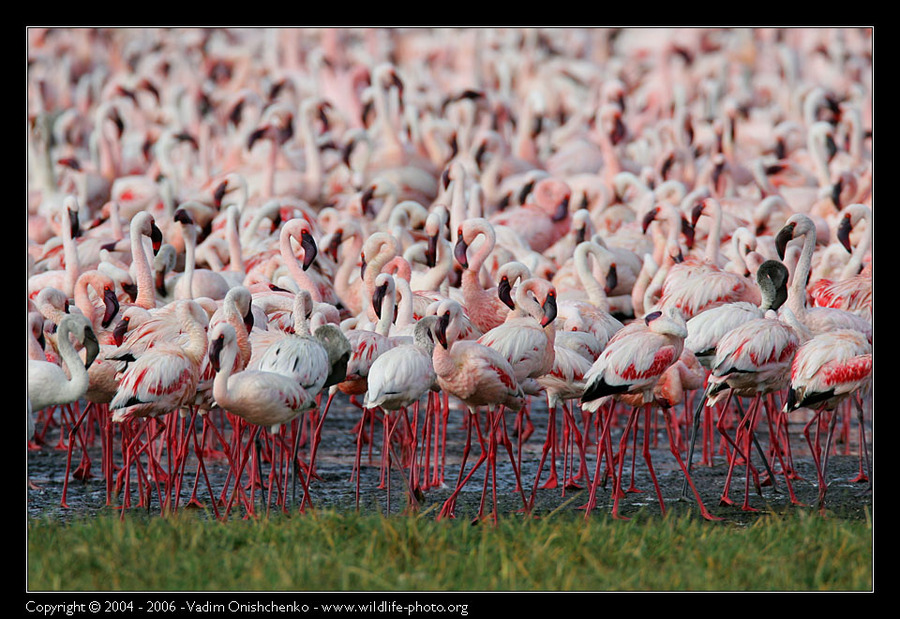 Flamingos of the lake Nakuru