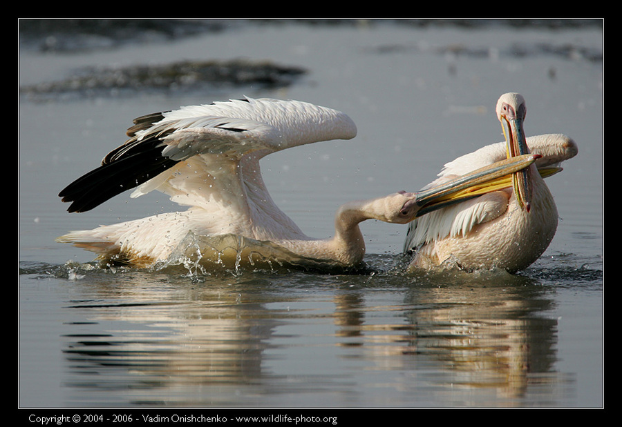 Pelicans of the lake Nakuru