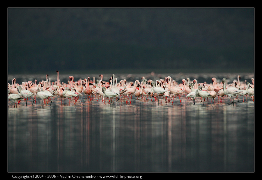 Flamingos of the Nakuru Lake