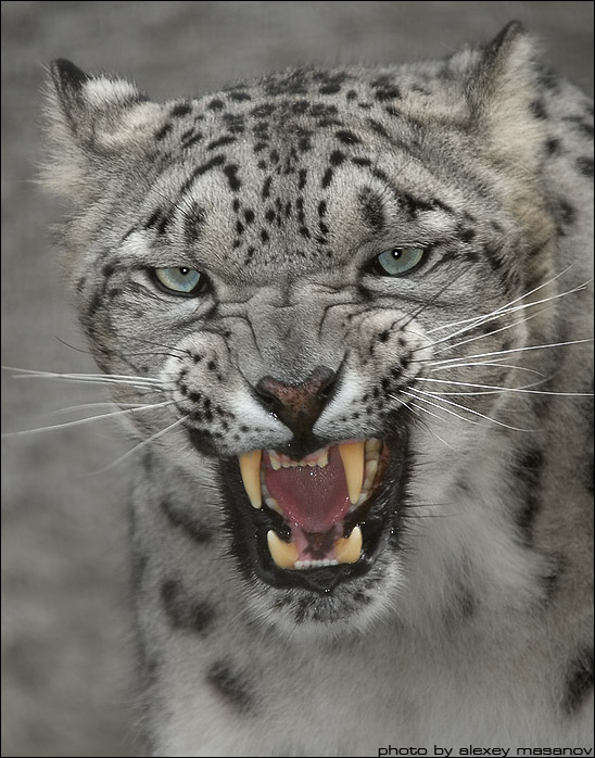 Go away | snow leopard, fangs, whiskers
