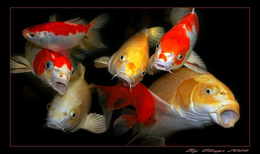 Fish choir