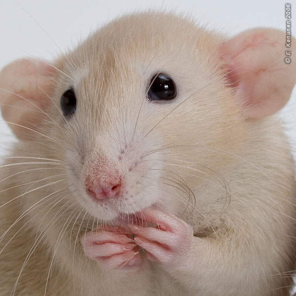 A classic portrait of a rat