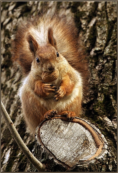 Squirrel and the nut