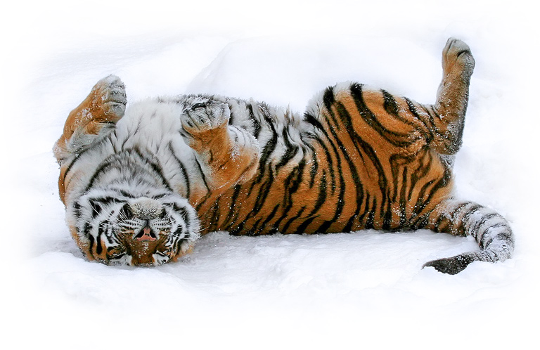 Last year's snow | snow, tiger, motion