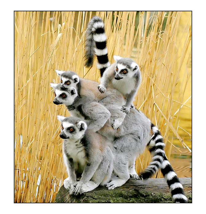 Wow! | motion, monkey, lemur
