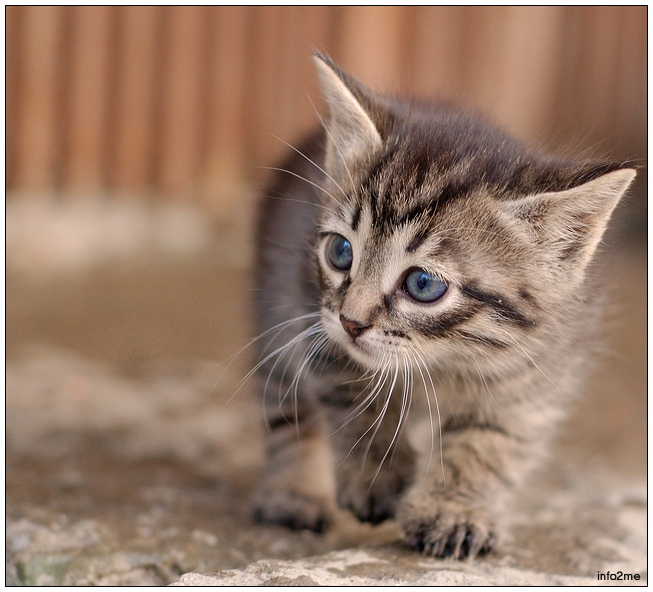 Walking kitten