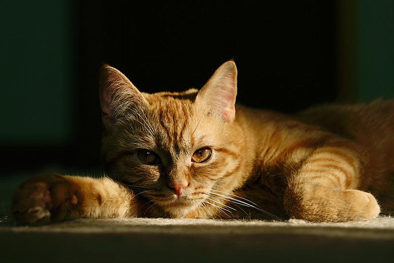 Cat characteristic #33
