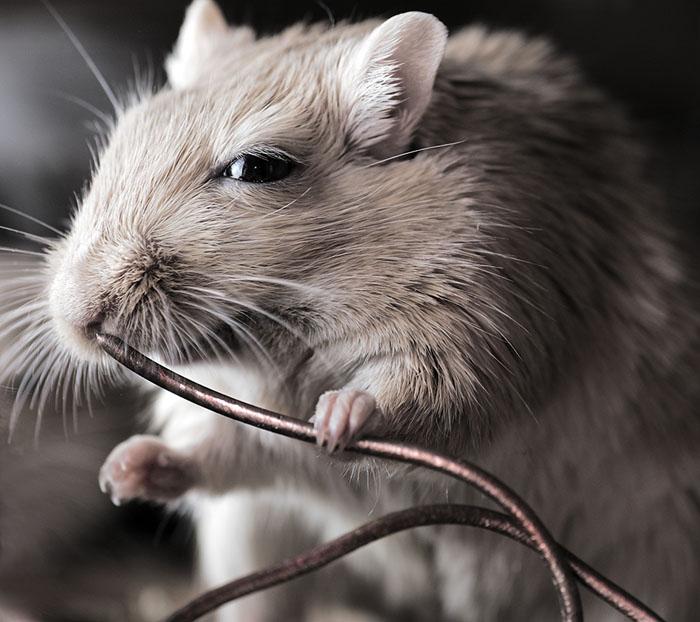 Little rodent