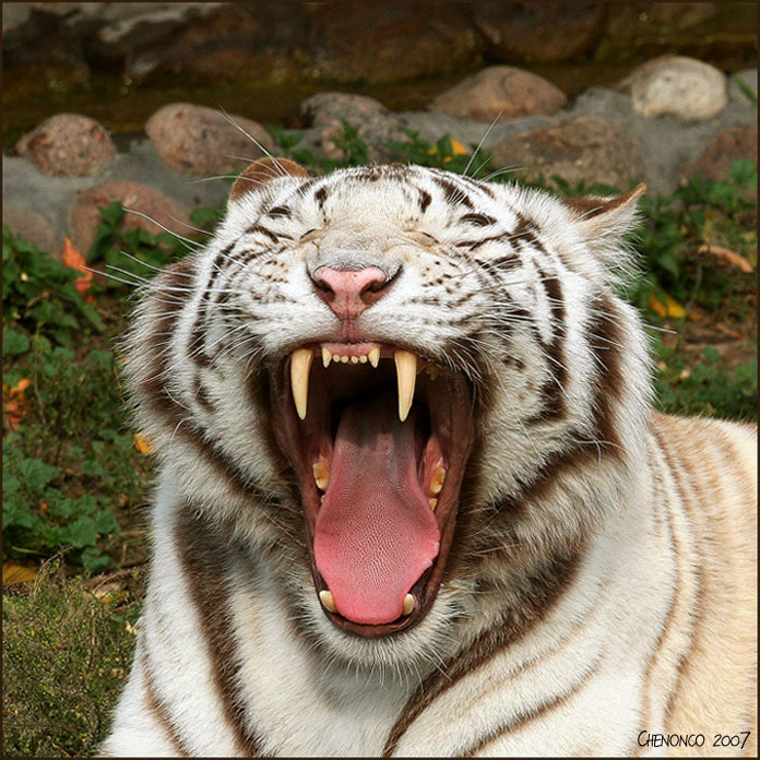 The Bengalese yawn