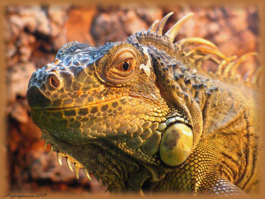 Visiting the iguana