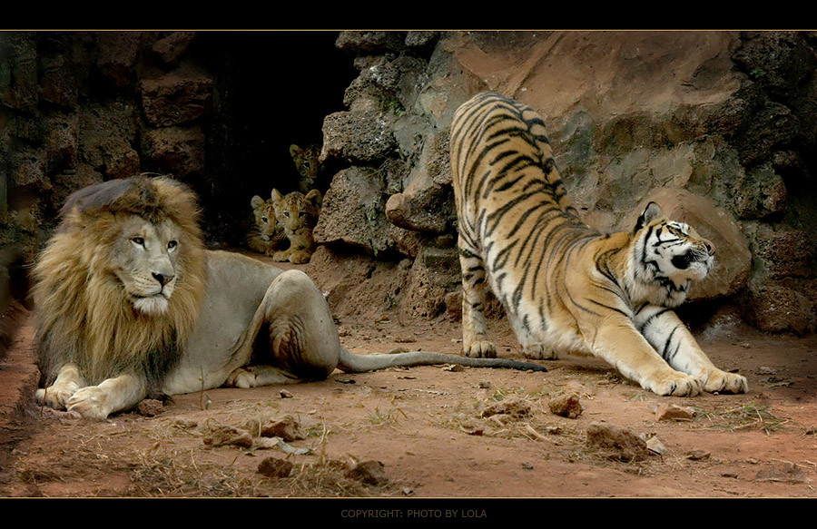 Lions And Tigers Cubs