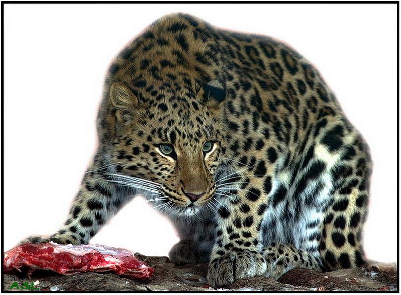 Fareast leopard