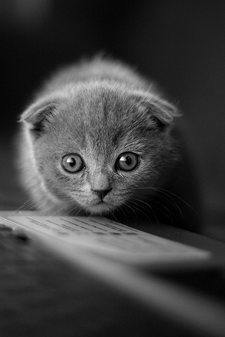 Marla | black and white, cub, cat