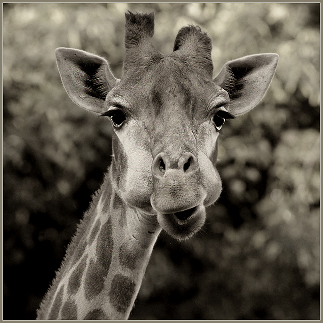 What are you doing here? | giraffe, black and white