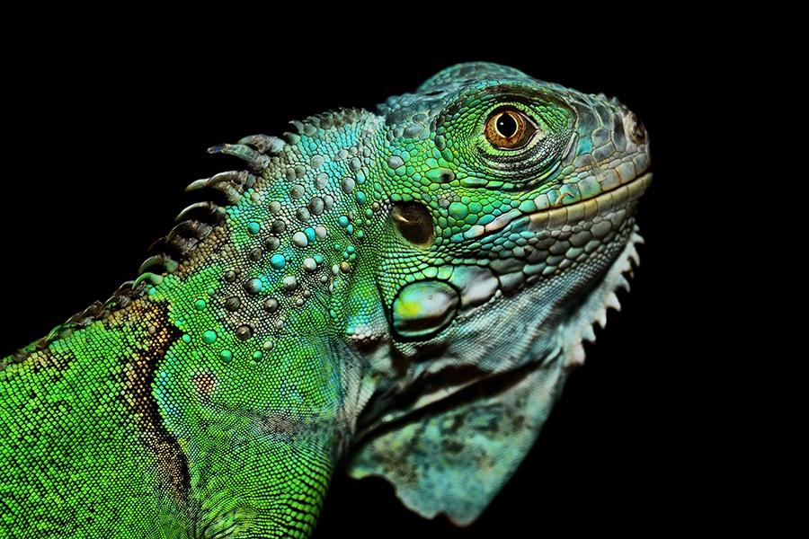 Just an iguana