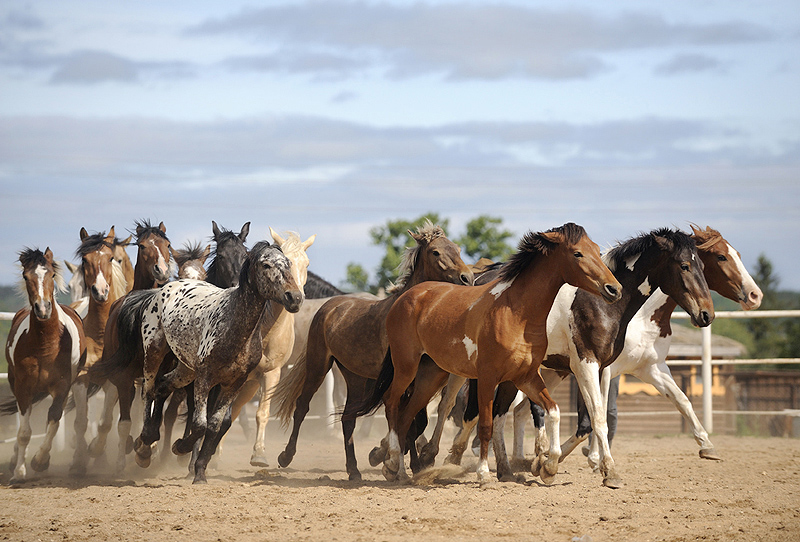 Herd | motion, horse, herd, dust