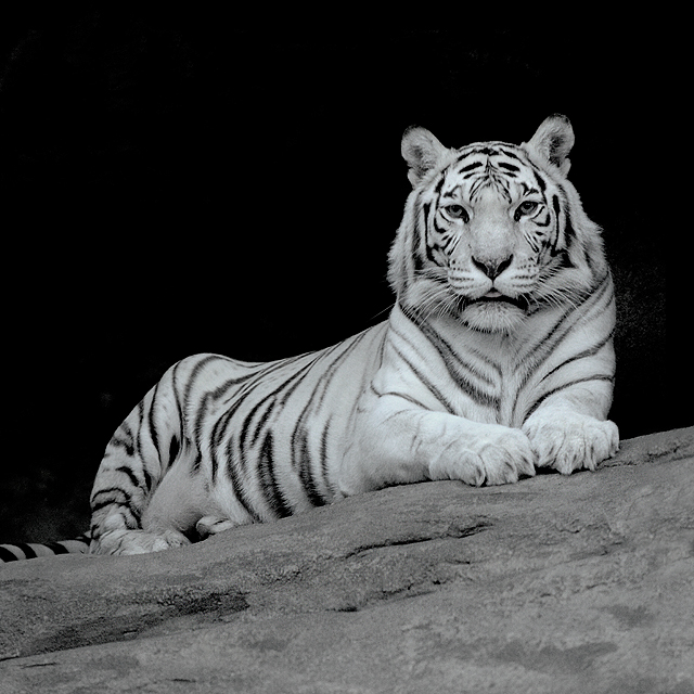 White tiger | tiger, black and white