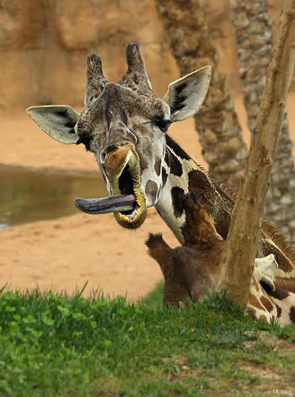 Giraffe tongue - photo#24