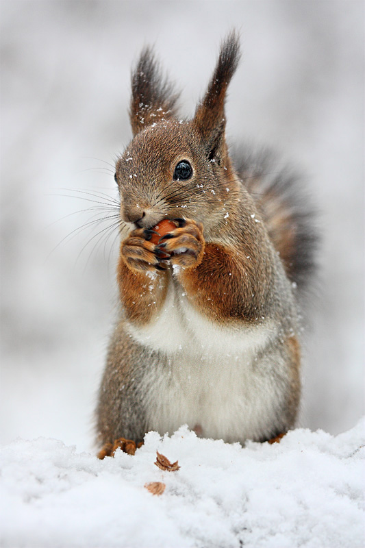 Finding | food, squirrel, whiskers, snow