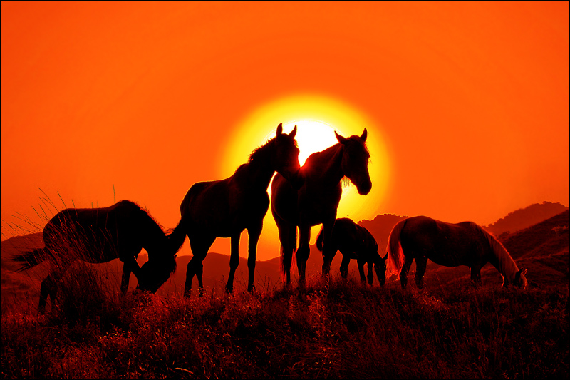african sunset silhouettes of horses