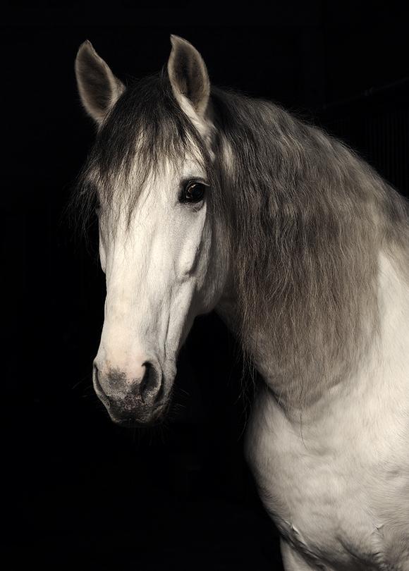 Portrait | black and white, horse