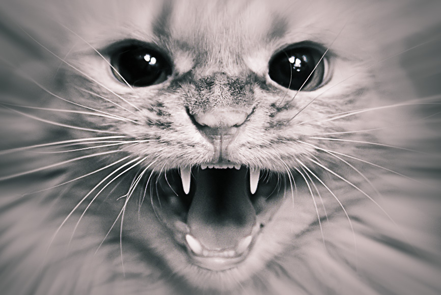 Don't come closer | fangs, cat, black and white