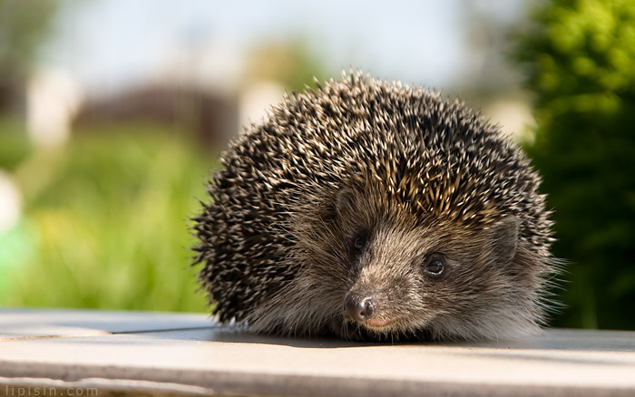 Guest | hedgehog