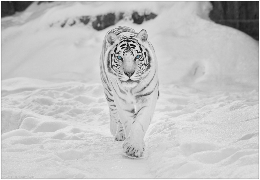 White on white | tiger, snow