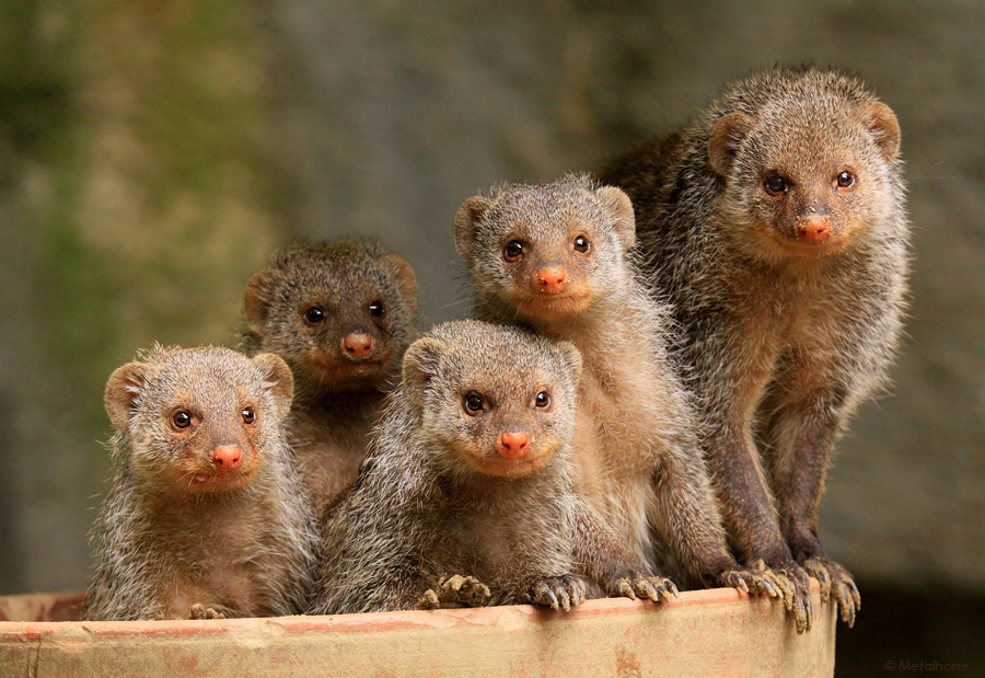 mongoose animals photos