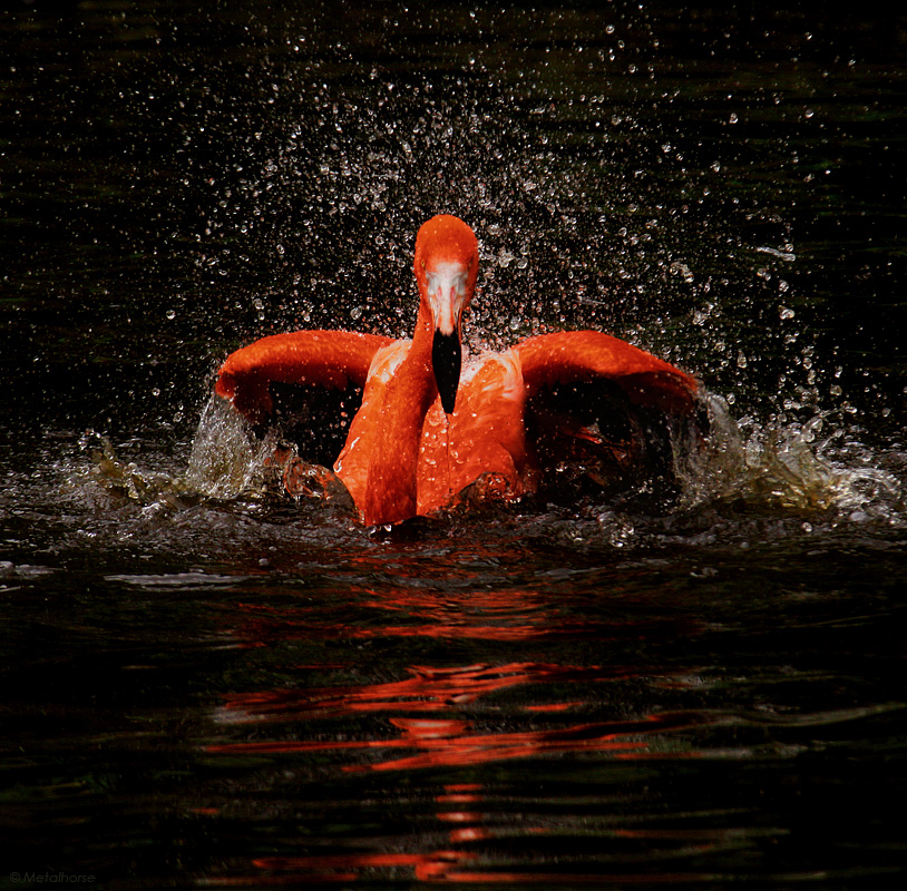 Explosion | water, motion, bird, flamingo