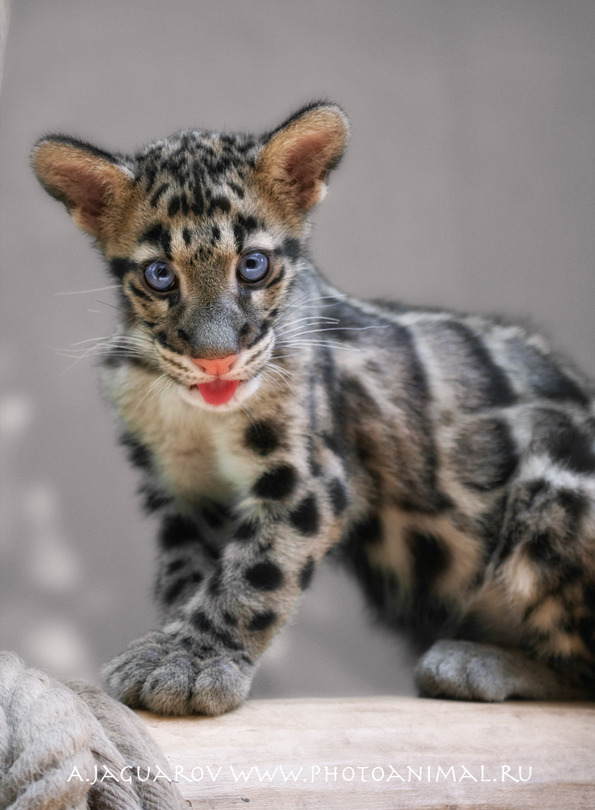 A microleopard