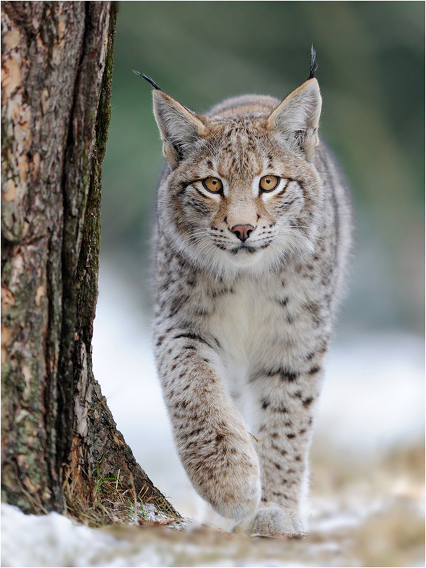 A walk | snow, lynx