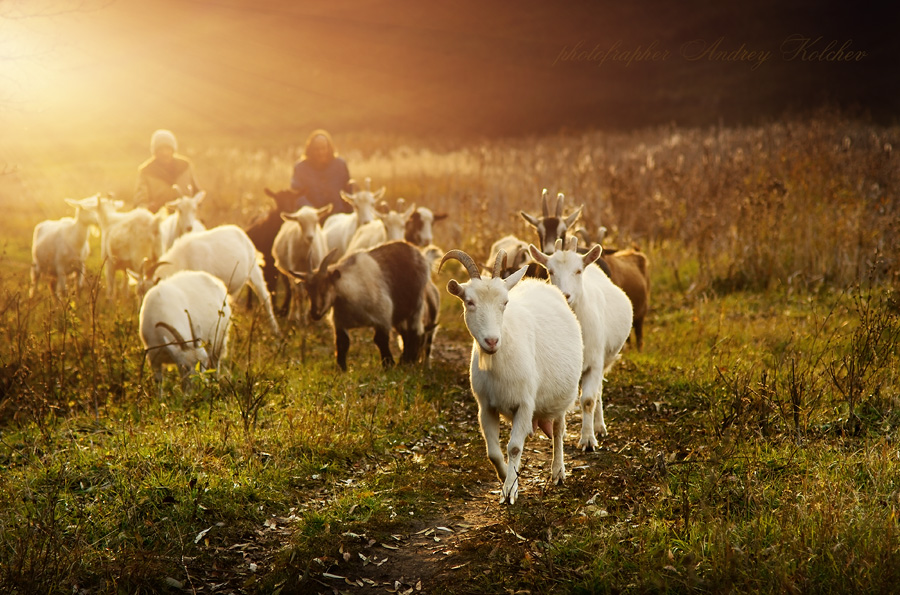 Morning in a glade | glade , goat, field, herd, horns, morning