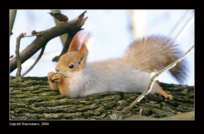 Sunbathing | squirrel, lie, branch