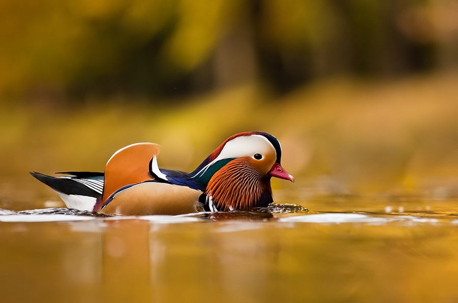 Colorful duck | water, motion, duck