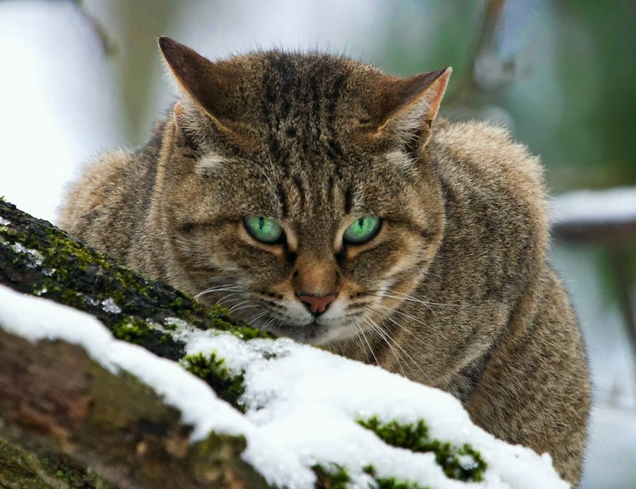 Green-eyed predator