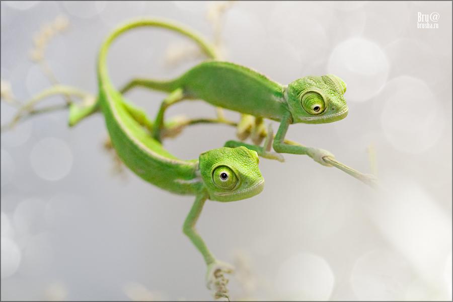 Chameleon or dragon