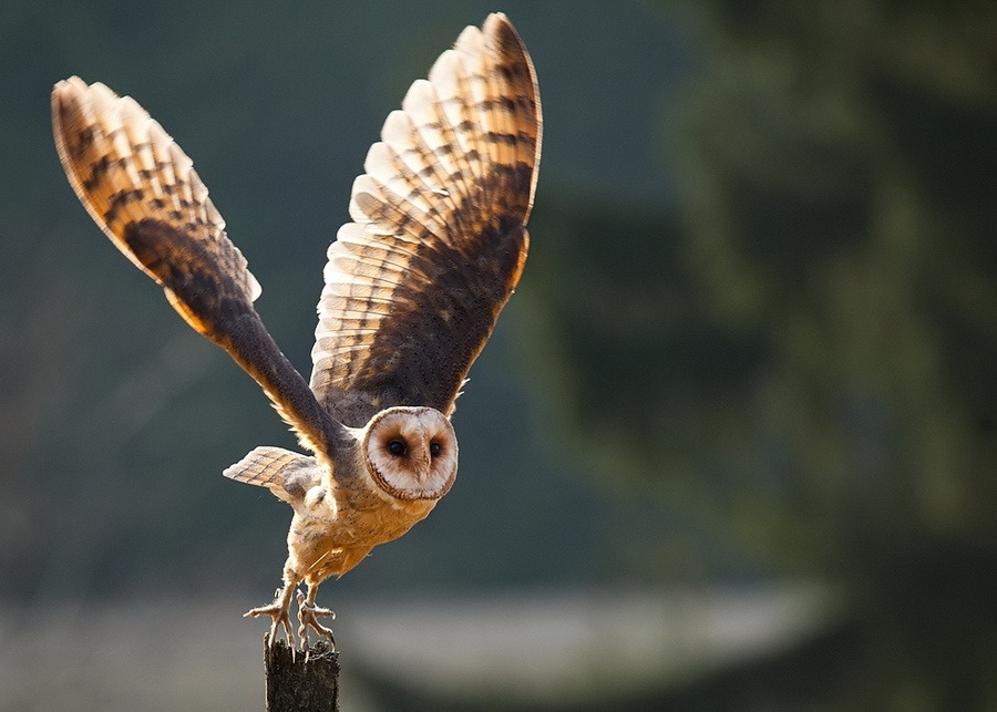 Barn Owl Taking Off Take off the ow...