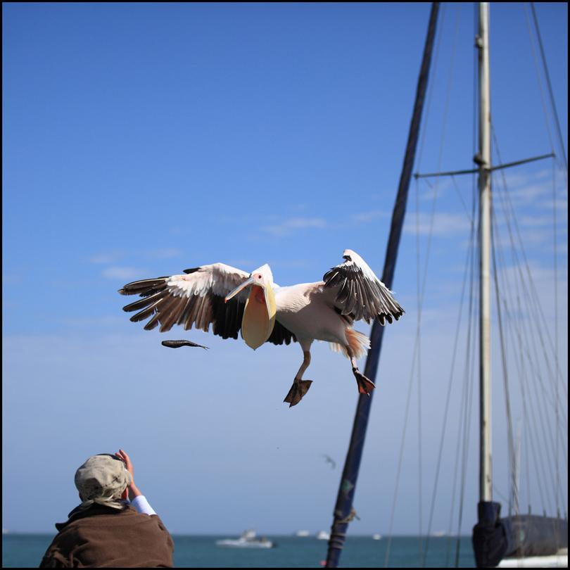 Peer pelican