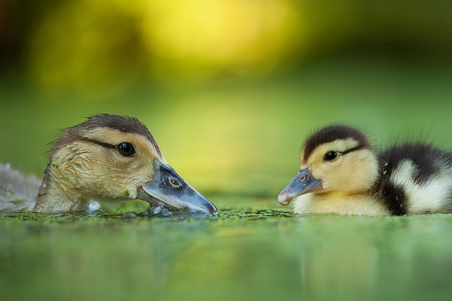 Duckling in the pond
