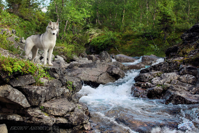 Husky by the stream