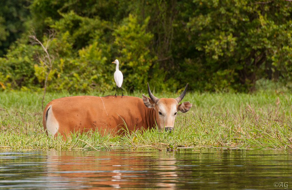 Cow and heron