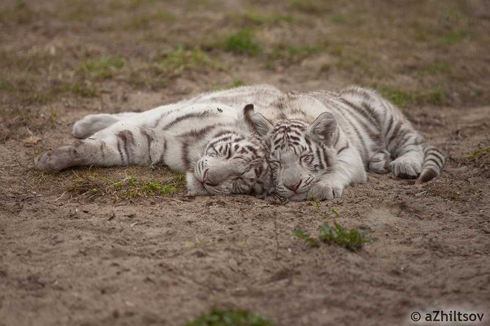 White striped tiger have a rest