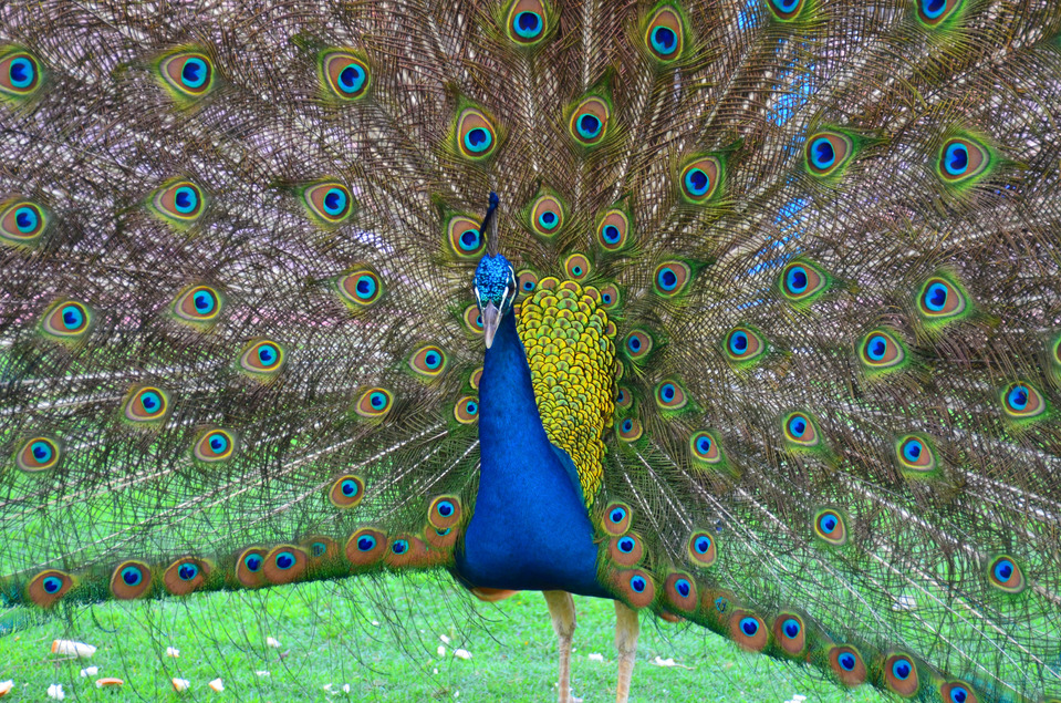 The dark blue peacock spreading its tail