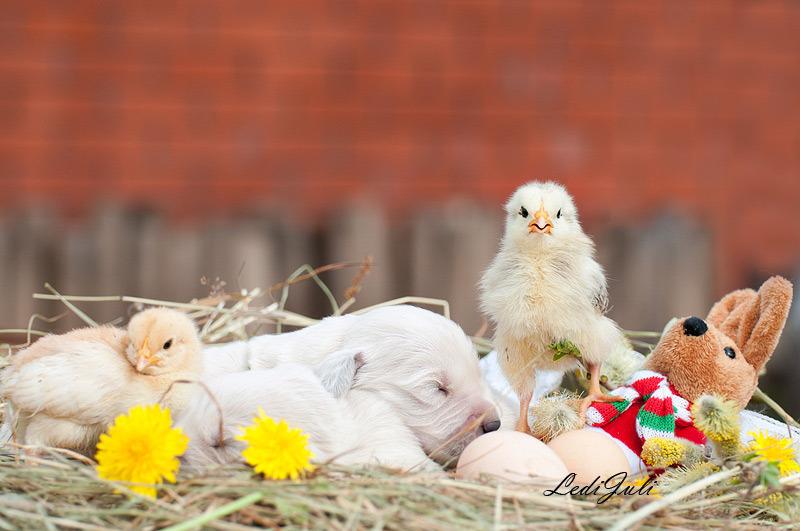 Chickens ond puppies