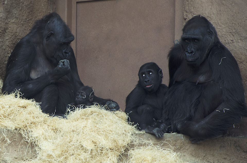 The pair of adult black orangutans sitting in the straw with their cubs