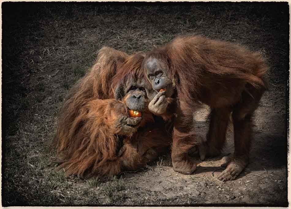 Gorillas posing