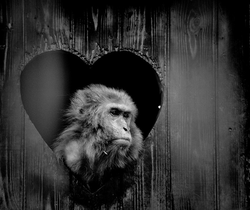 The sad black and white monkey looks out of the hole in the form of heart