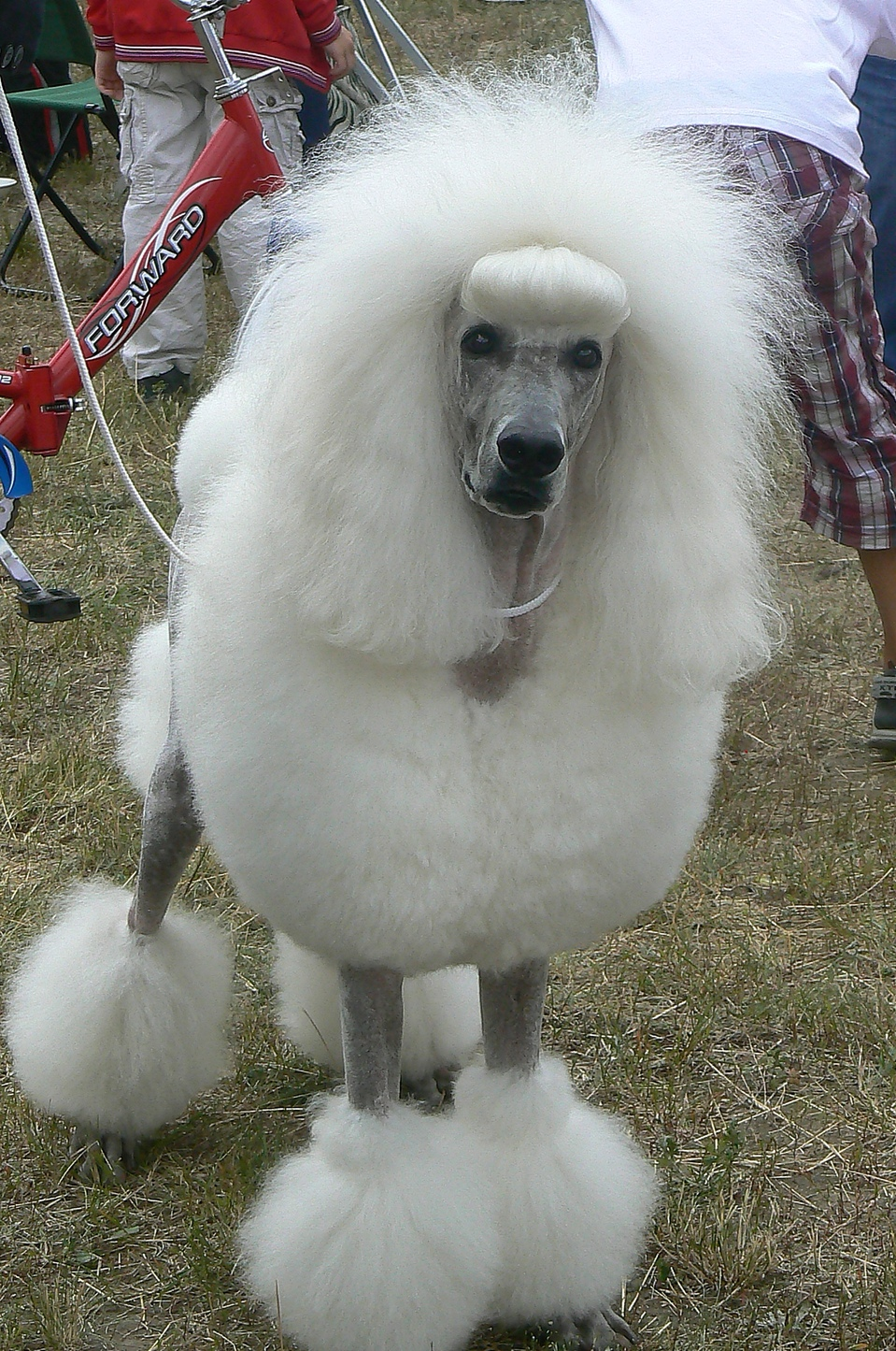 The white poodle